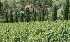Montecarlo: vinho há mais de 800 anos