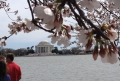 Espetáculo das flores da cerejeira encanta moradores e turistas em Washington-DC