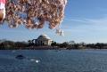 Cerejeiras encantam moradores e turistas em Washington DC